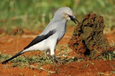 National bird of Ethiopia