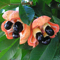 National Fruit of Barbados -Ackee tree