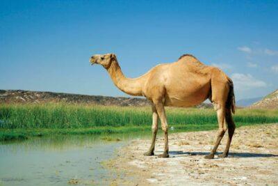 National animal of Kuwait