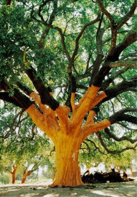 National Tree of Portugal - Cork Oak