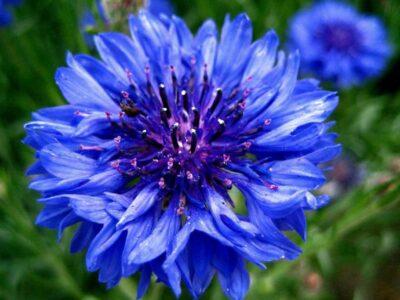 National Flower of Germany -Cyani flower