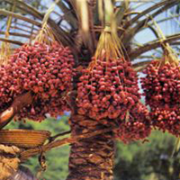 National Tree of Bahrain - Date palm