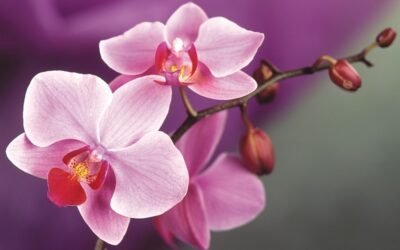 National Flower of Singapore -Hybrid Orchid