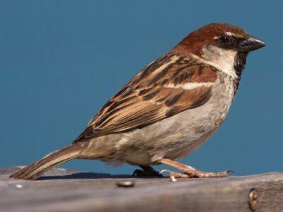 National bird of Italy
