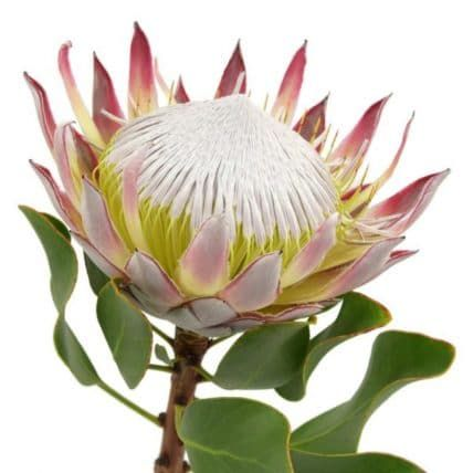 National Flower of South Africa -King Protea