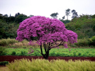 National Tree of Paraguay - Lapacho