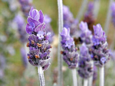 National Flower of Portugal -Lavender