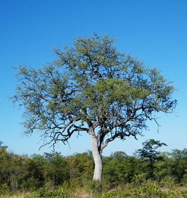 National Tree of Mozambique - Leadwood tree