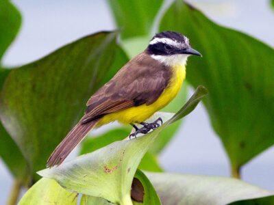 National animal of Suriname