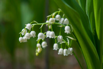 National Flower of Serbia -Lily of the valley