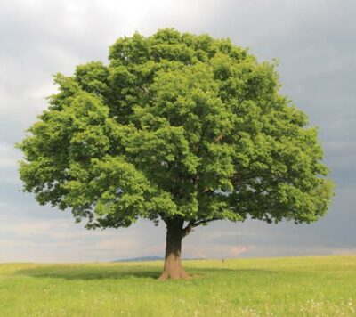 National Tree of Estonia - Oak