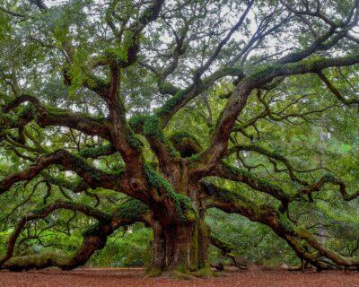 National Tree of Slovakia - Oak