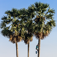 National Tree of Gambia - Palm tree