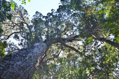 National Tree of South Africa - Real yellowwood