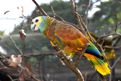 National animal of Saint Vincent and the Grenadines
