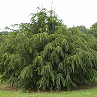 National Tree of Flanders - Taxus Baccata