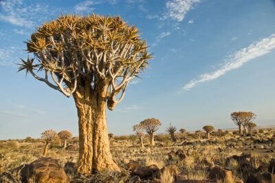 National Tree of Namibia - The quiver tree