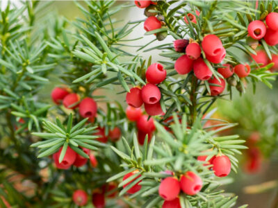 National Tree of France - Yew