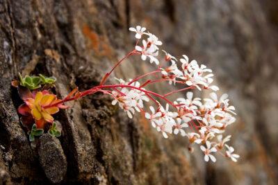 National Flower of Norway -Bergfrue