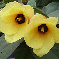 National Flower of South Sudan -Hibiscus