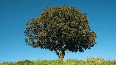 National Tree of Spain - Holm Oak (Quercus ilex)