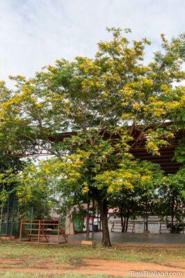 National Tree of Myanmar (Burma) - Padauk tree