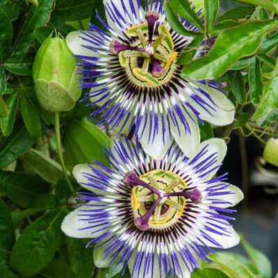 National Flower of Paraguay -Passion flower