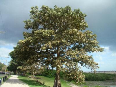 National tree of Panama - Sterculia apetala