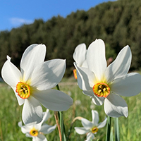 National Flower of Andorra -Narcissus
