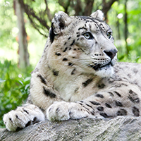 National Animal of Afghanistan - Snow leopard