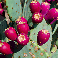 National fruit of Palestine - Prickly pear