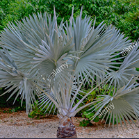 National Tree of Cayman Islands - Silver Thatch Palm