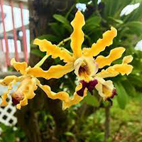 National Flower of Cayman Islands -Wild Banana Orchid