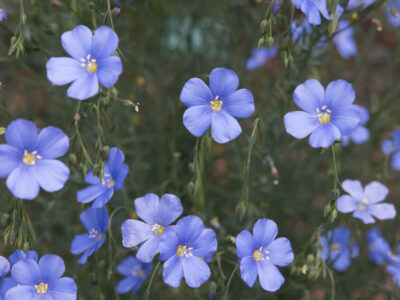 National Flower of Northern Ireland -Flax
