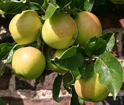 National Fruit of Northern Ireland -Greasy Pippin