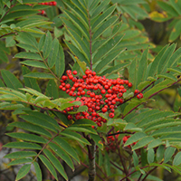 National Tree of Greenland - Greenland mountain ash